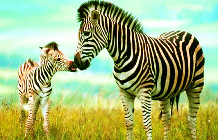 Cebras  U2013 Sooluciona