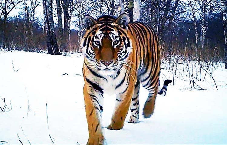 Qué Comen Los Tigres Siberianos Sooluciona