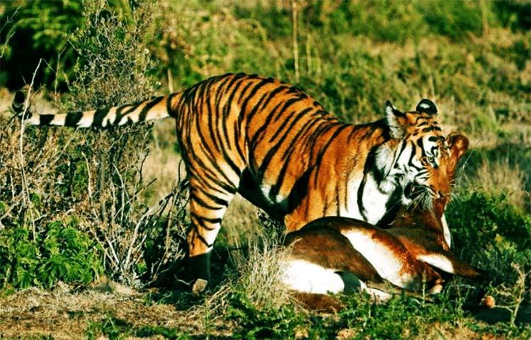 Tigres Sooluciona