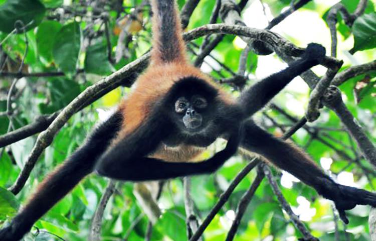 Cuál Es El Periodo De Gestación Del Mono Araña