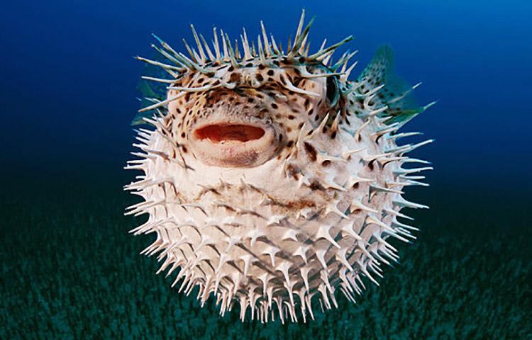 Cuánto miden los peces globo