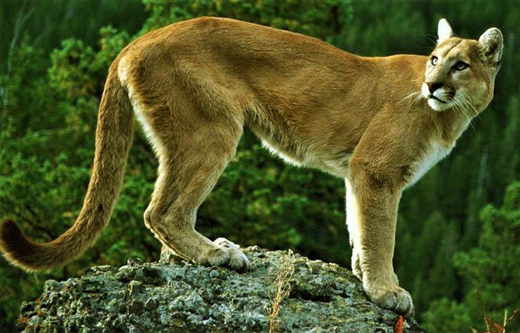 soldadura Creo que Mirar atrás  Cuántos años viven los pumas – Sooluciona