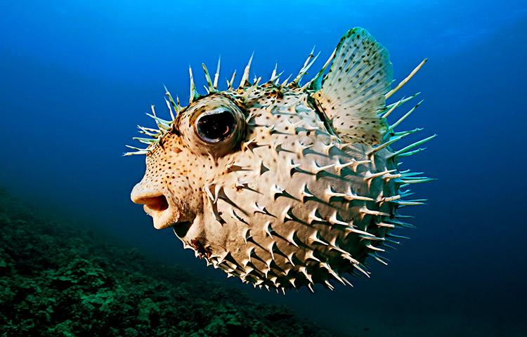 especies de pez globo