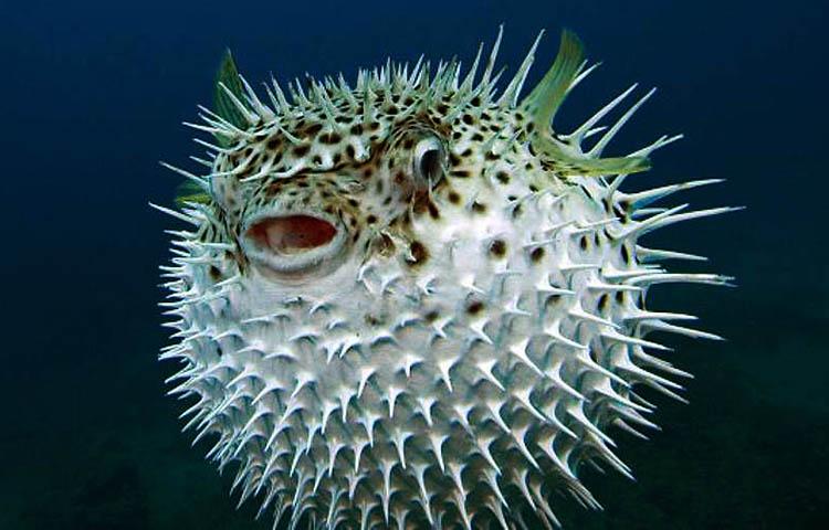que come el pez globo