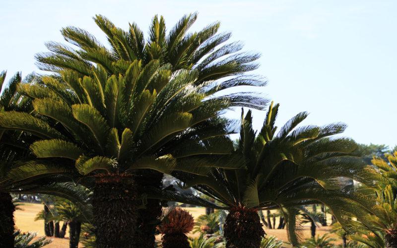 Diferencias entre Pinus y Cycas